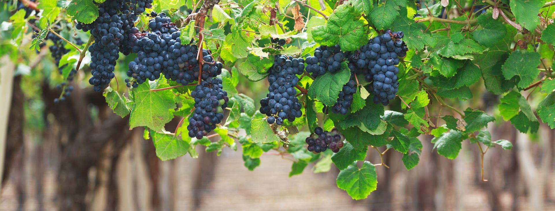 Vinos y calentamiento global. La carrera por los viñedos más australes el mundo
